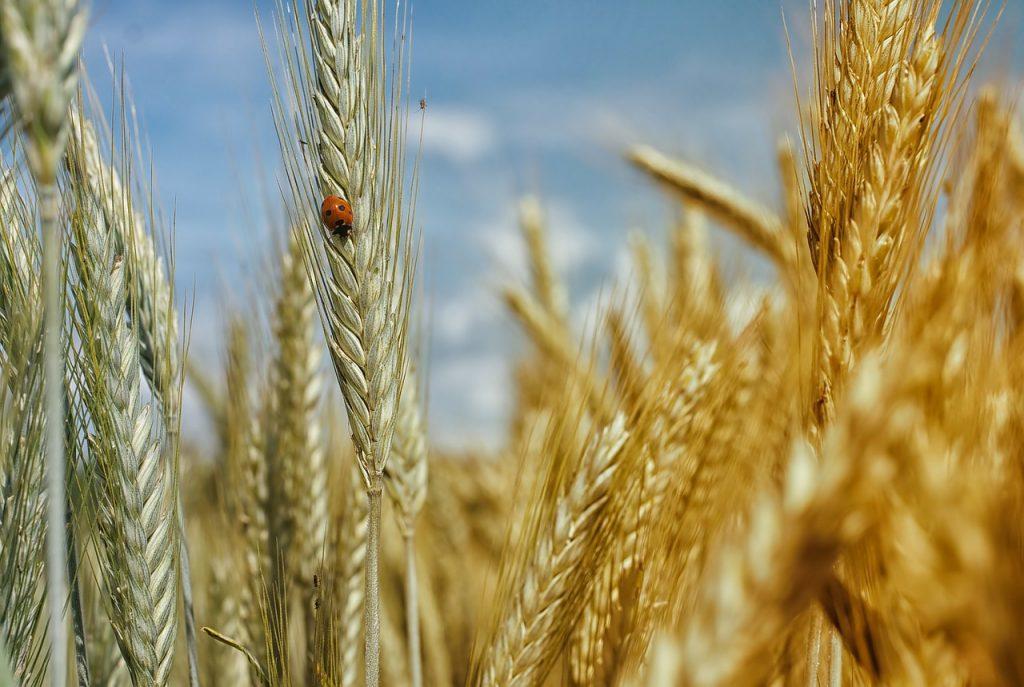 le blé source de glucide