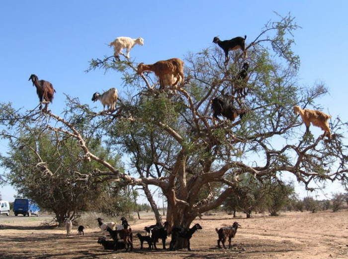 arbre à chèvre